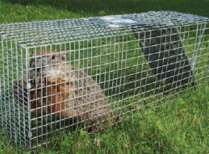 Woodchucks can be trapped in double-door or single-door traps. Photo: iStock.com/EasyBuy4u
