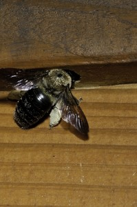 Carpenter bees represent one of many stinging insect annual contract renewal opportunities.