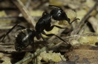 Carpenter ants often hollow out wood for nesting.