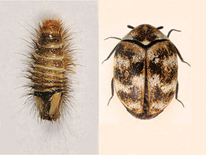 Other Bugs Mistaken For Bed Pest Colloquial Names And