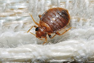 Bed bug photo by Gene White