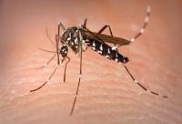 Tiger Mosquito, Aedes albopictus