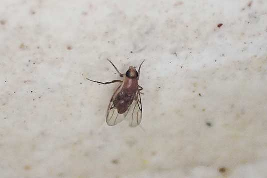 Did You Know Phorid Flies Pest Management Professional