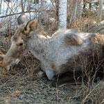 ghost moose