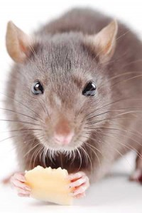iS14821873rat-w-cheese