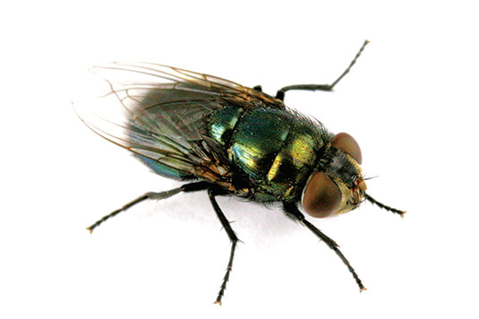ask the expert black blow flies bed bugs and lice pest. Black Bedroom Furniture Sets. Home Design Ideas