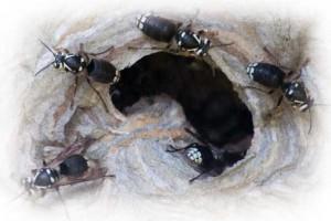 bald-faced-hornets