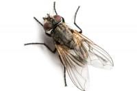 House fly Photo: ©istock.com/yongkiet