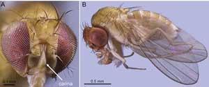 Drosophila gentica