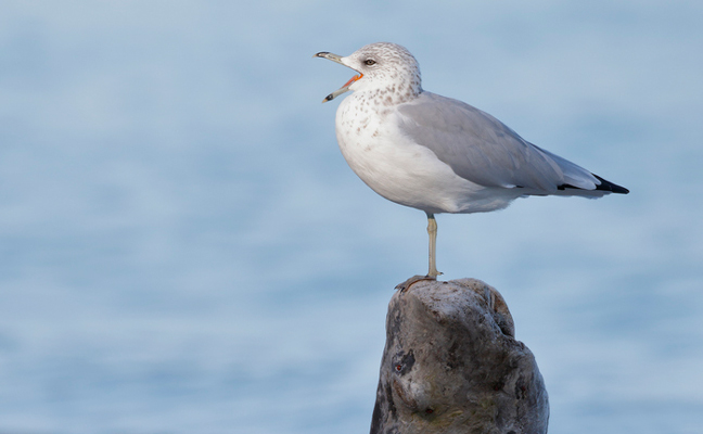 seagull (PHOTO: ISTOCK.COM/BRIANLASENBY)