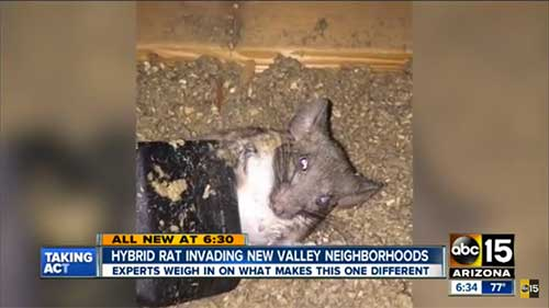 New Rat Hybrid Wreaks Havoc In Arizona Pest Management