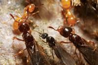 Citronella ants (Acanthomyops spp.)
