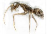 Photo: Eli Sarnat, PIAkey: Invasive Ants of the Pacific Islands, USDA APHIS ITP, Bugwood.org