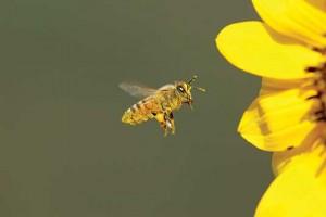 iS2800956_honeybee