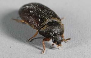Photo: K.S. Matz, black carpet beetle