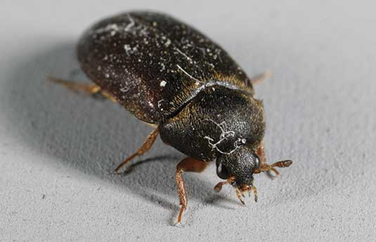 Carpet Beetle Management GuidelinesUC IPM