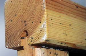 After an inspection and dismantling of the crib, numerous bed bugs, eggs and fecal stains were found. Photo: Paul Bello