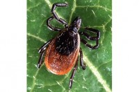 Adult deer tick. PHOTO: Scott Bauer/USDA ARS