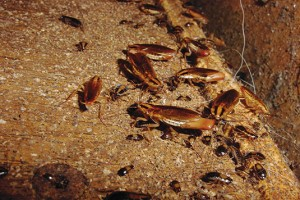 German cockroaches are heavily dependent on moisture sources. Photo: Mark sheperdigian