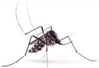 Mosquito. Photo: ©iStock.com/eye-blink
