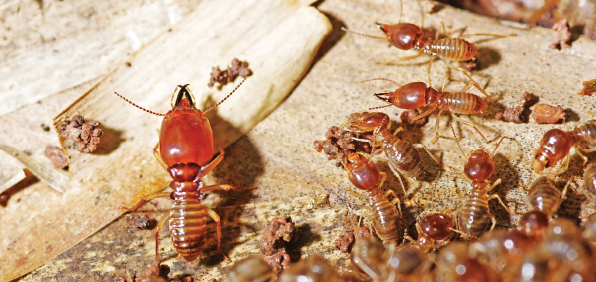 Reaching the source of a termite infestation in a crawlspace often requires the cooperation of the client. Photo: ©iStock.com/TrichopCMU