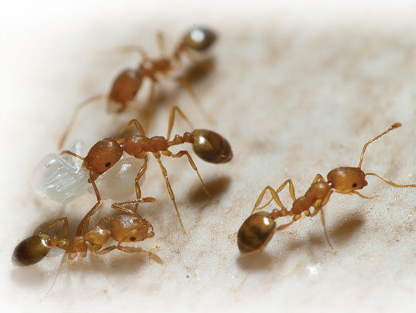 choose weapons wisely when fighting pharaoh ants pest