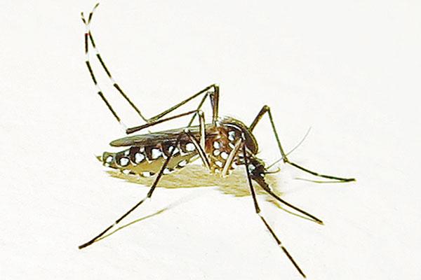 Aedes-aegypti-female