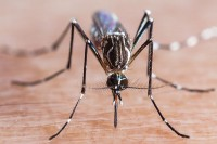 Aedes aegypti PHOTO: ISTOCK.COM/TEPTONG