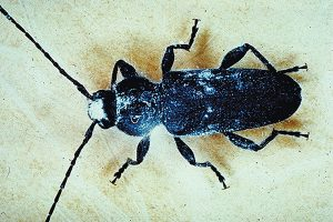 Photo: USDA Forest Service, Wood Products Insect Lab
