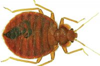 Bed bug. Photo: ©istock.com/marcouliana