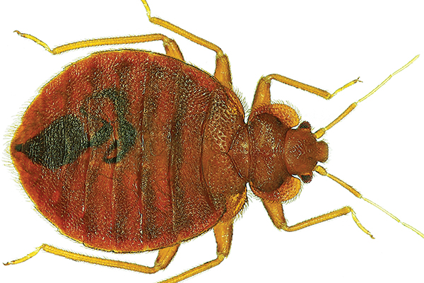 Difference Between Ticks And Bed Bugs 28 Images Bed