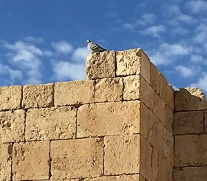 A pigeon sits on a tower in the Jewish city of Arad, Solomon's fortress located in the Negev Desert. Photo: ©Stuart Aust