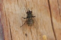 A multi-pronged approach worked at a tough stable fly (Stomoxys calcitrans) account. Photo: bugwood.org/Whitney Cranshaw