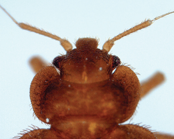 Bed Bugs A Tale Of Two Species