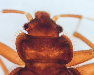 The tropical bed bug's pronotum is only moderately excavated. Photo: Mark Sheperdigian