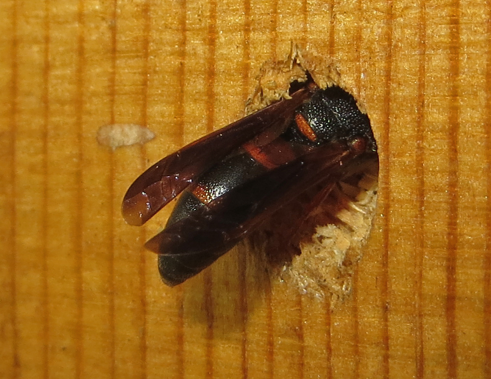 Mason Wasp, Red-marked, Pachodynerus erynnis 4B-Q.JPG
