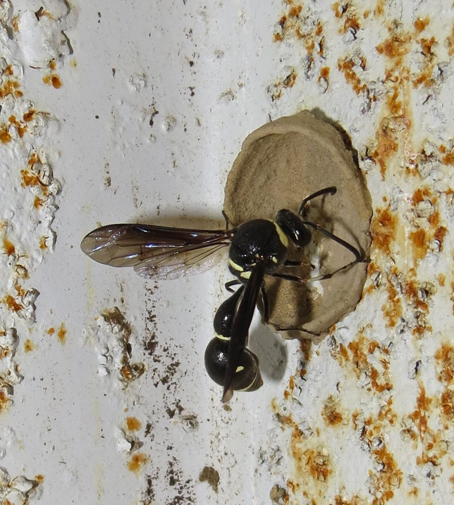 Potter Wasp, Eumenes fraternus and nest 1C-Q.JPG