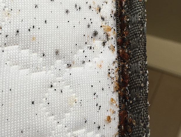 bed bugs: do mattress encasements help? : pest management professional