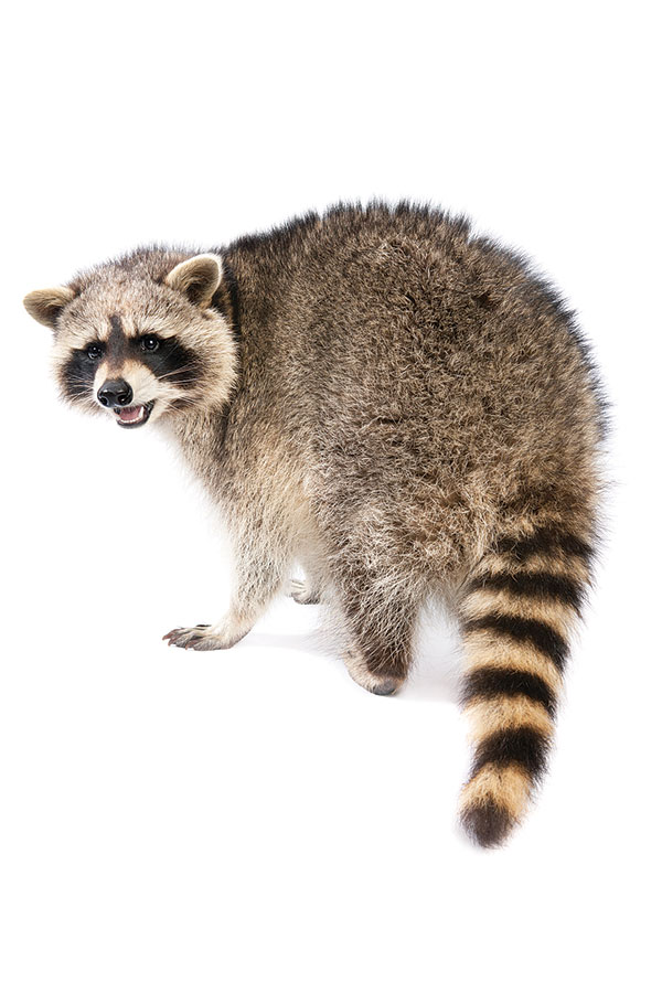 iS15676349_raccoon