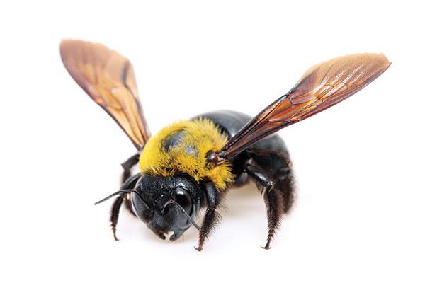 iS43694070carpenter-bee