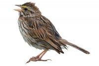 Sparrow photo from istock.com/pchoui/ rob_lan