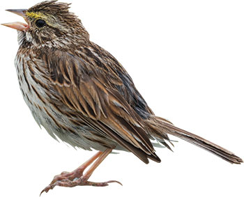 Sparrow PHOTO: PCHOUI/ISTOCK/GETTY IMAGES PLUS/GETTY IMAGES