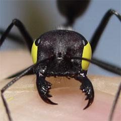 blindfolded-ant