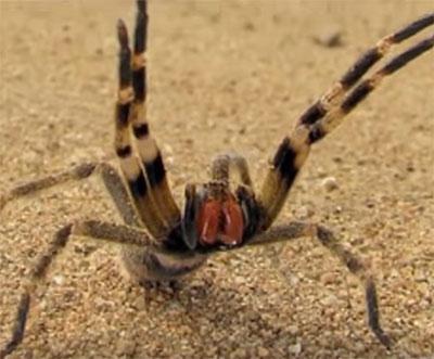 Pmps Tackle World S Most Venomous Spider Pest
