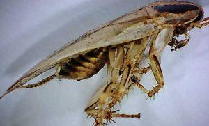 The Asian cockroach is often mistaken for the German species. Photo: ©istock.com/mindscanner