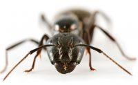 Ant. Photo: iStock/edelmar