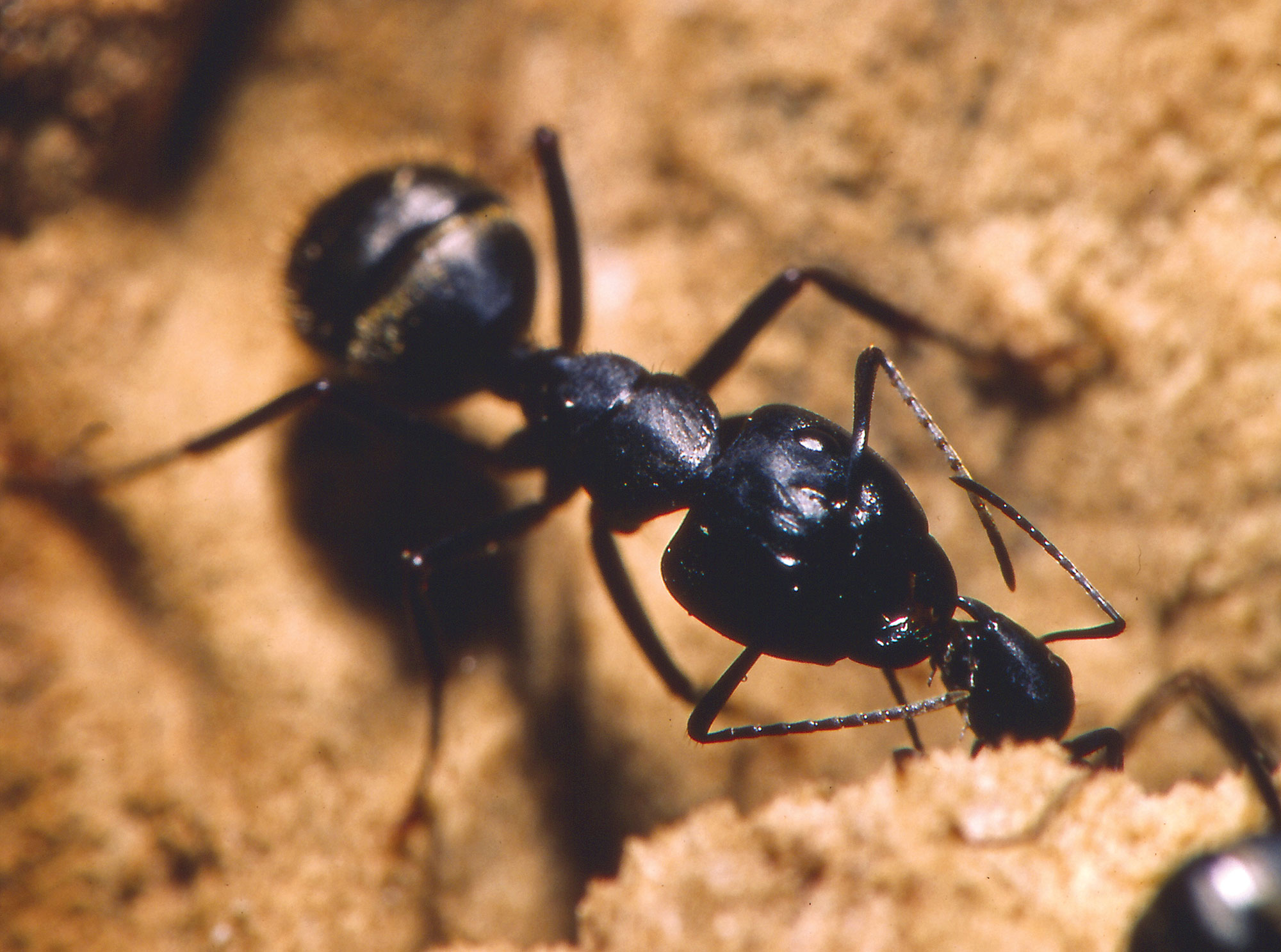 What attracts carpenter ants to an attic space?  Pest Management Professional & What attracts carpenter ants to an attic space? : Pest Management ...