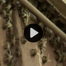 bee-infestation-vdeo