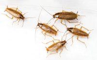 German cockroaches. Photo: ©iStock.com/Wi6995