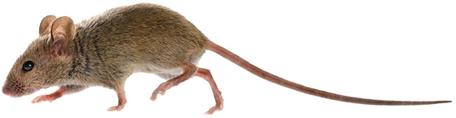 rat photo from iStock.com/GlobalP